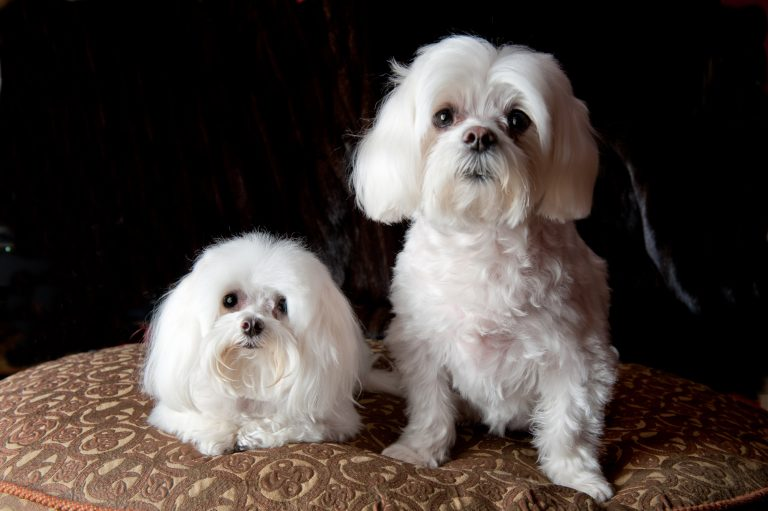 Maltese sitting on ottoman at their home