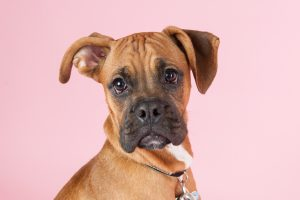Boxer puppy looking serious in studio