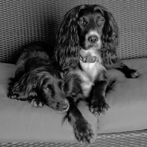 English Cocker Spaniels sitting on couch at their home