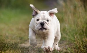 Bull Dog puppy running in grass
