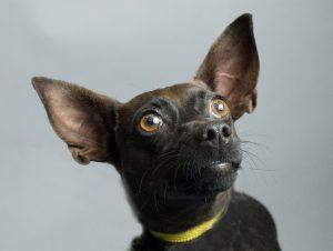 Adoptable dog at Dallas Animal Services