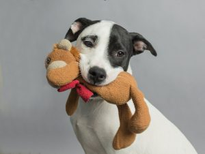 Adoptable dog with toy in its mouth
