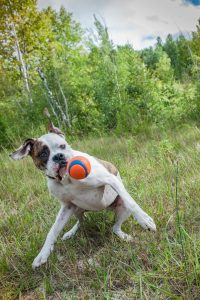 Dog catching ball in meadow