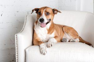 Dog on chair in studio looking cute