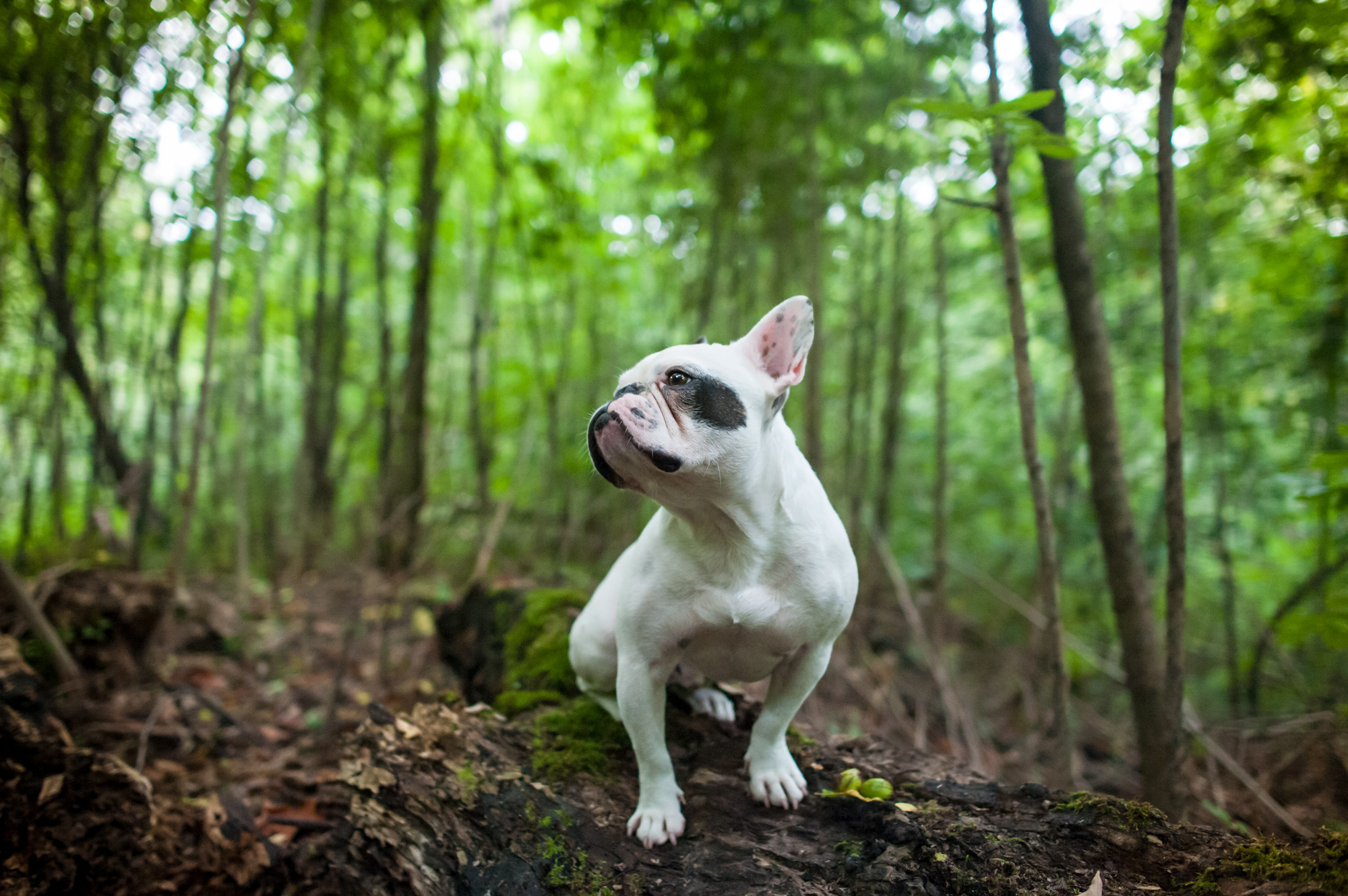 French Bull dog in forest