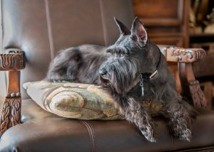 Miniature Schnauzer on antique chair