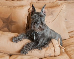 Miniature Schnauzer on bed with star pillows