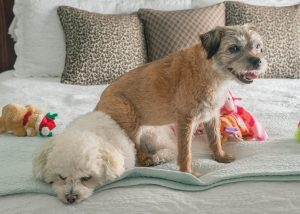 Border Terrier and Bichon on bed
