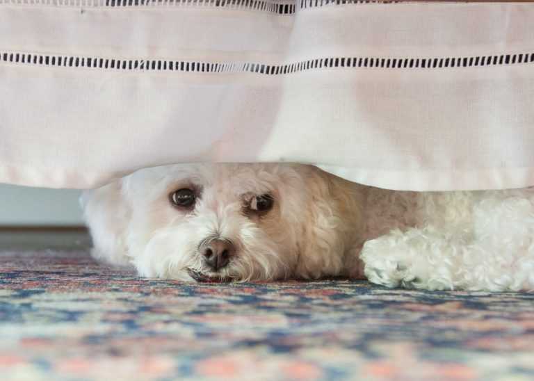 Bichon puppy looking out under bed