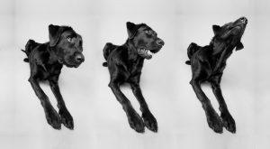 Triptych of Labrador Retriever in studio
