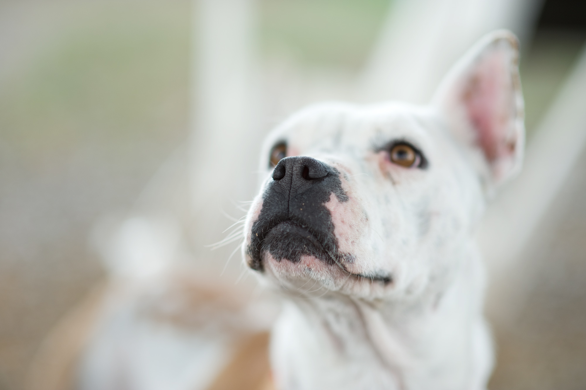 Pit Bull looking up