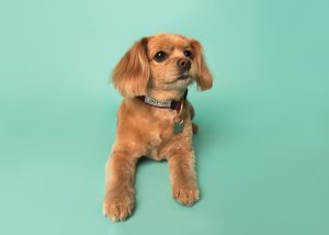 Cavalier King Charles Spaniel in the studio
