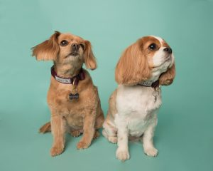 Cavalier King Charles Spaniels in the studio