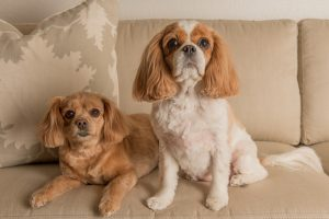 Cavalier King Charles Spaniels sitting on couch