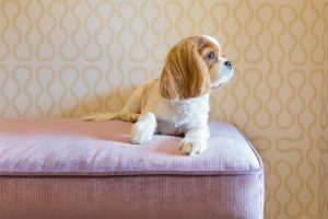 Cavalier King Charles Spaniel in its home