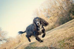 English Cocker Spaniel running in Lindsey Park Dallas