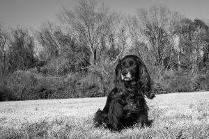 English Cocker Spaniel in Lindsey Park Dallas