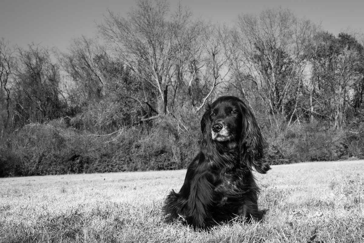 English Cocker Spaniel in park