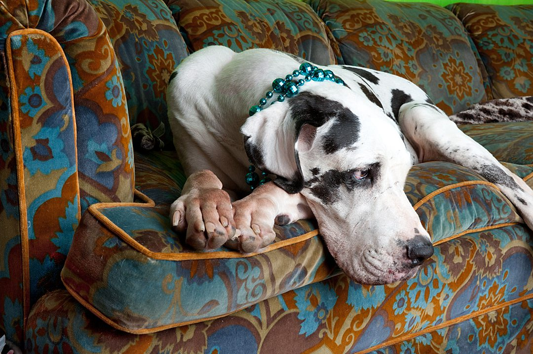 Great Dane Olive laying on couch in her Dallas home