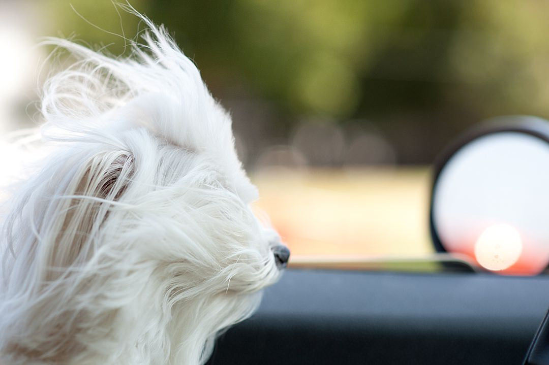 Maltese enjoying a ride in the car