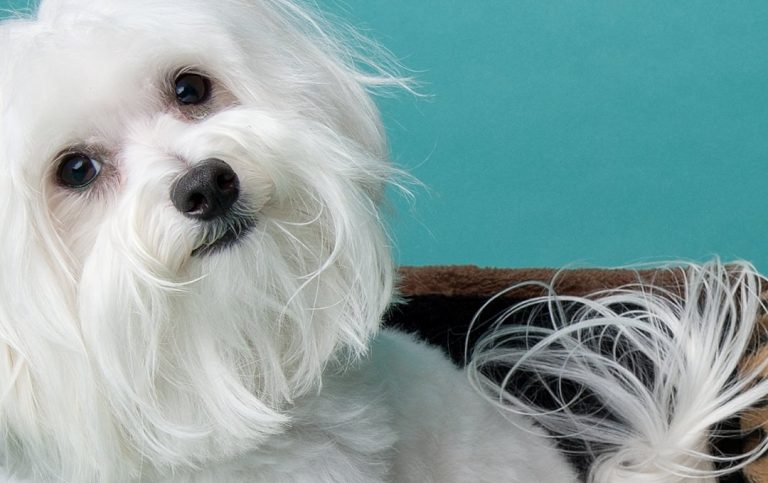 Maltese lounging in studio gazing at you